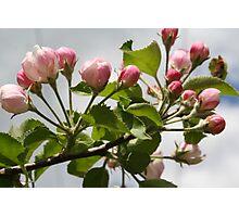 Apple blossom time Photographic Print