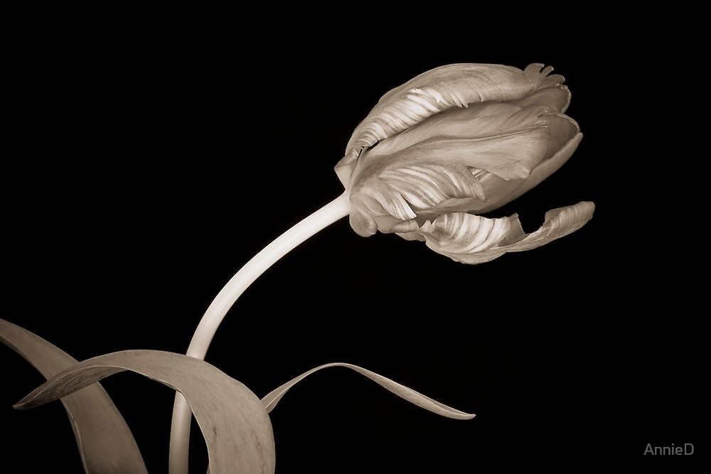 Tulip in Sepia by AnnieD