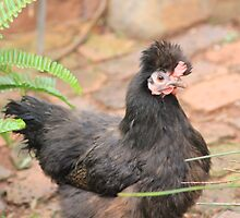 Farm talk - Micky the Silkie by Maree  Clarkson
