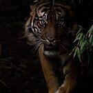 Sumatran Tiger by Brad Francis