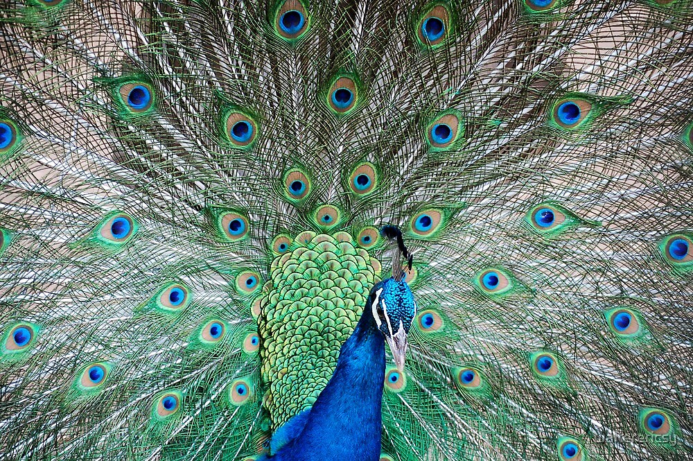 Indian Peafowl (Peacock) in MMLDC, Antipolo, Philippines by walterericsy