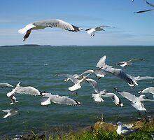 gladstone seagulls by tammy scott