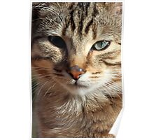 Here's Looking at You - Portrait of a Tabby Cat Kitten Poster
