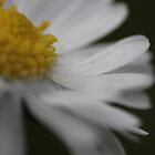 Daisy On The Lawn - #2 by Daisy-May