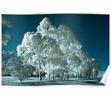 'Blue' infrared gum trees Poster