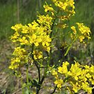 Black Mustard- Brassica nigra by Tracy Faught