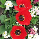 Tulips Three by BlueMoonRose