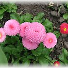Pretty in Pink - Delightful Double Daisies by BlueMoonRose