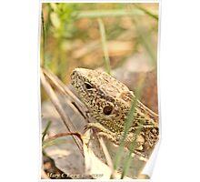 Sand Lizard Lacerta agilis Poster