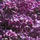 Lilacs by Tracy Wazny
