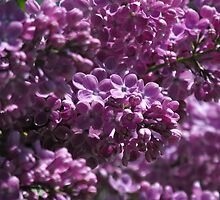 Lilacs by Tracy Faught