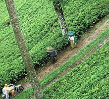 tea plantation by bayu harsa