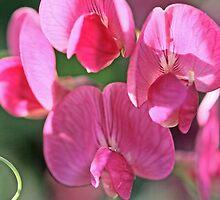 Sweet pea, Lathyrus odoratus by pogomcl