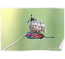 Slender Burnet, Zygaena loti Poster