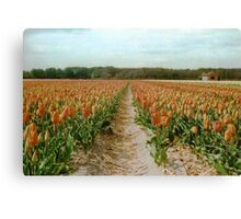 Dutch Tulips Fields Canvas Print
