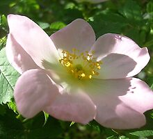 Wild rose flower by Ana Belaj