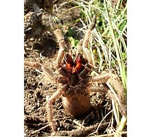 Baboon Spider Photographic Print