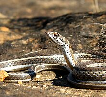 Karoo Whip Snake by Robbie Labanowski