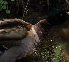 Duck by Tyropechniker