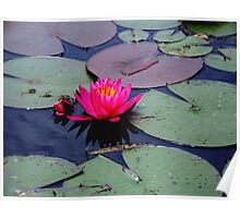 Lily &  Lily  pads   Poster