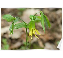 Large-Flowered Bellwort Poster