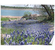 Bluebonnets  Where They Have Not Been For Years. Poster