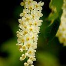 Blossoms  by Vincent Teh