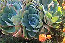 Echeverias after the rain by Maree  Clarkson