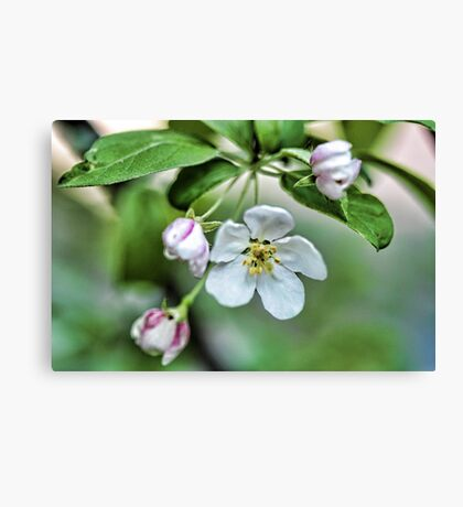 Fragrant Apple Blossoms Canvas Print