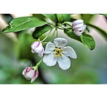 Fragrant Apple Blossoms Photographic Print