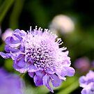 Purple Pincushion by SESE