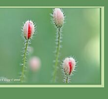 Field poppies, Papaver rhoeas B by pogomcl