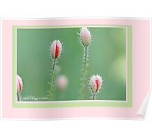 Field poppies, Papaver rhoeas D Poster