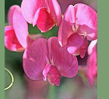 Sweet pea, Lathyrus odoratus  A by pogomcl