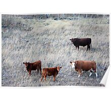 Cattle at Large Poster
