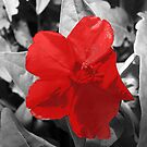 Selective Colored  Red Flower by MaeBelle