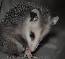 Baby opossum by Amanda Huggins