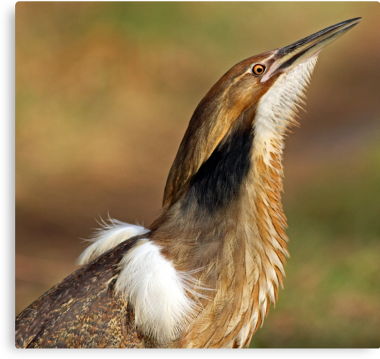American Bittern Portrait by Bill McMullen