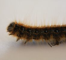 Writing Muse - Tent Caterpillar by Tony Wilder