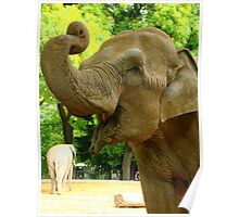 elephant begging for peanuts Poster