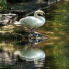 Swan Reflections by LeftHandPrints