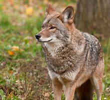 Coyote by Tracey  Dryka