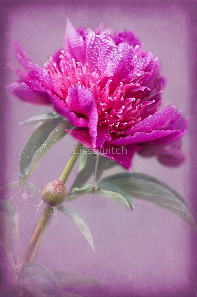Pink Peony by Lissywitch