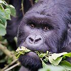 Silverback Gorilla - Virunga National  Park Rwanda by Sue Earnshaw