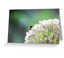 Bumblebee pollinating onion flower. A bee collects nectar from a flower bow Greeting Card