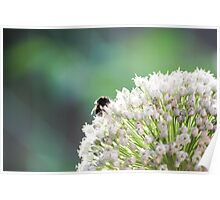 Bumblebee pollinating onion flower. A bee collects nectar from a flower bow Poster