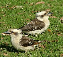 Young Kookaburra's by Liz Worth