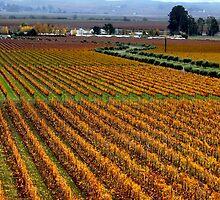 Vineyard by Amanda Huggins