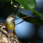 Bar-winged Prinia (Prinia familiaris) by Normf