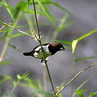 Javan Munia (Lonchura leucogastroides)  by Normf
